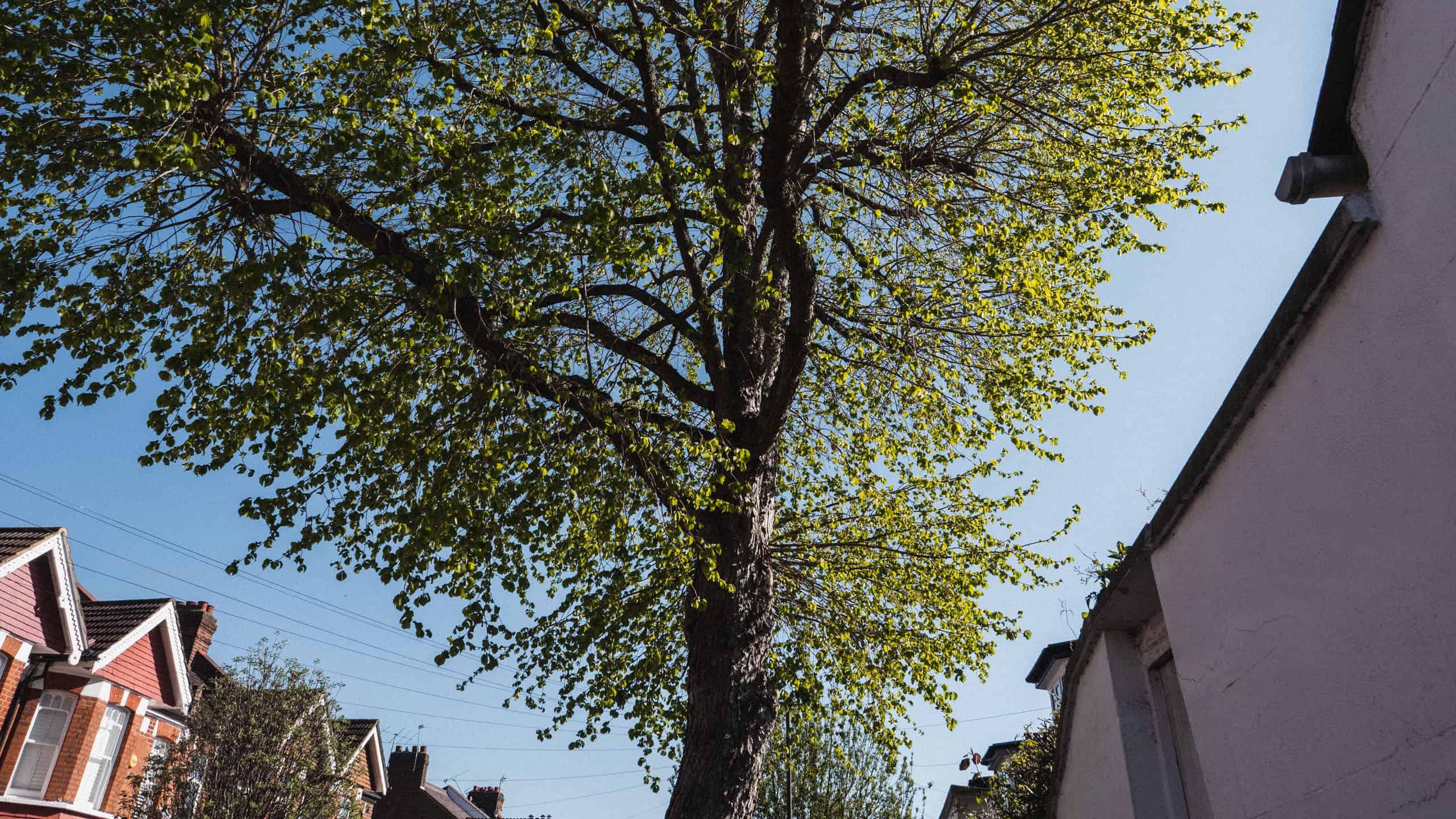 spring trees London